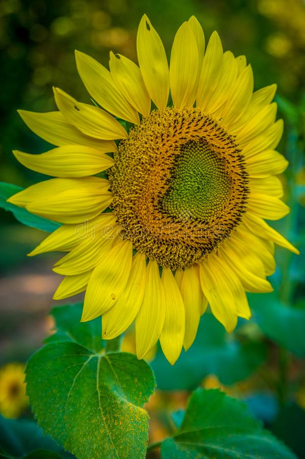 Ηλίανθος στην πλήρη άνθιση που περιμένει pollinators στοκ φωτογραφίες με δικαίωμα ελεύθερης χρήσης
