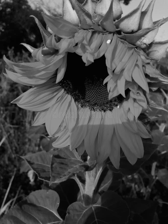 Ηλίανθος στον ήλιο στοκ εικόνες