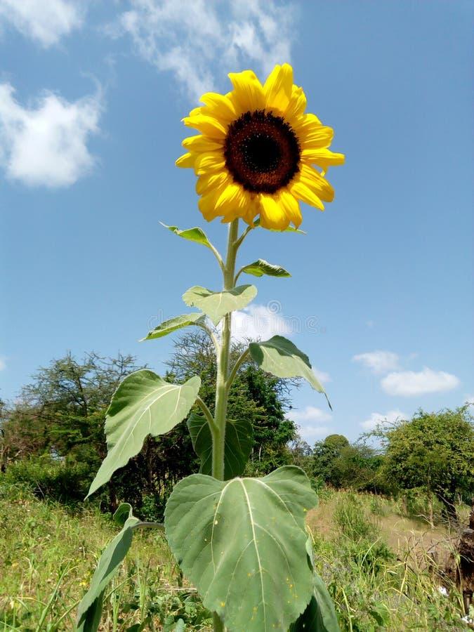 Ηλίανθος στον ήλιο στοκ εικόνα με δικαίωμα ελεύθερης χρήσης