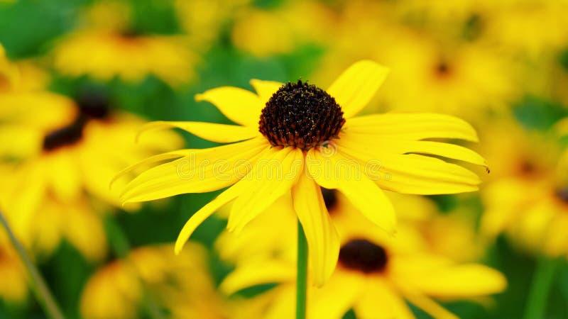 Ηλίανθος στον κήπο - όμορφο λουλούδι στοκ φωτογραφία με δικαίωμα ελεύθερης χρήσης