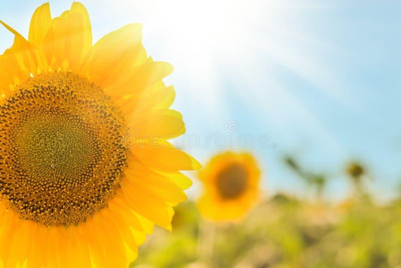 ηλίανθος στον τομέα και το ηλιοβασίλεμα με τον ήλιο στοκ φωτογραφίες