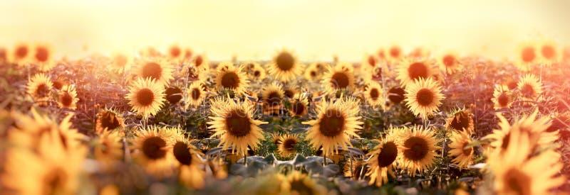 Ηλίανθος Beautuful στο λιβάδι, γεωργικός τομέας στοκ εικόνα