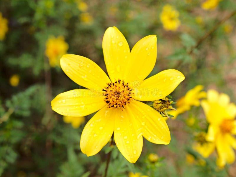 Ηλίανθος Tickseed Wildflower στο Τέξας στοκ φωτογραφίες