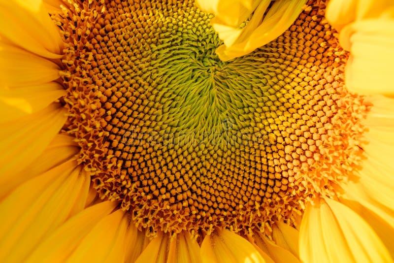 Ηλίανθων στενός επάνω μακρο στρογγυλός κίτρινος φωτεινός σπόρων σύστασης λουλουδιών επικεφαλής στοκ εικόνες με δικαίωμα ελεύθερης χρήσης