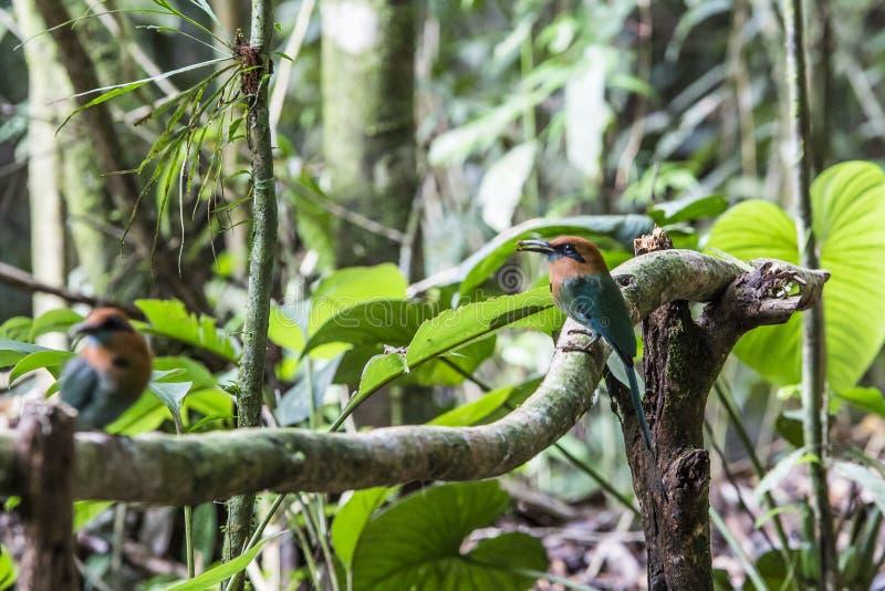 Ηλεκτρόνιο Momotus, platyrhynchum ηλεκτρονίων, ευρύς-που τιμολογείται motmot, πουλιά της Κόστα Ρίκα στοκ εικόνες