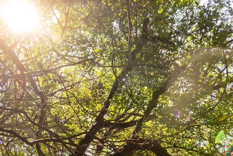 Ηλιαχτίδες που φιλτράρουν μέσω των κλάδων ενός δάσους στοκ εικόνα