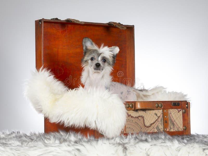 13 ηλικίας κινεζικών λοφιοφόρων εβδομάδες κουταβιών σκυλιών στοκ φωτογραφίες