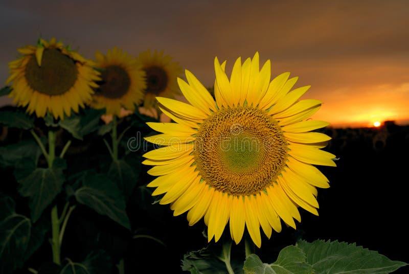 ηλιοβασίλεμα ηλίανθων στοκ εικόνες με δικαίωμα ελεύθερης χρήσης