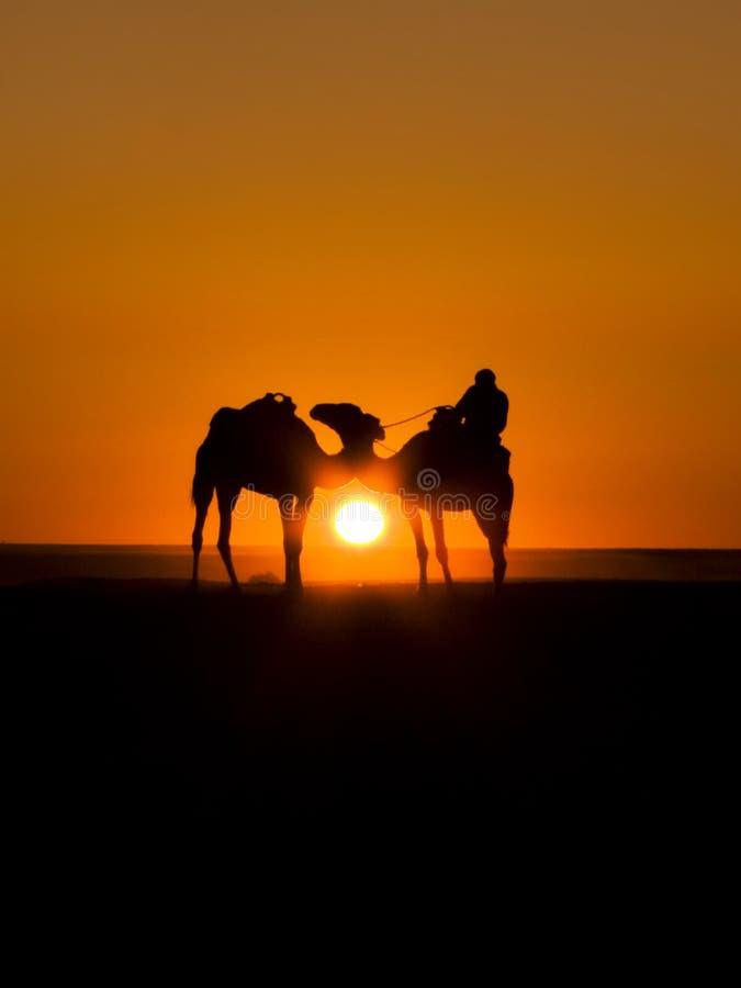 ηλιοβασίλεμα καμηλών στοκ εικόνες με δικαίωμα ελεύθερης χρήσης
