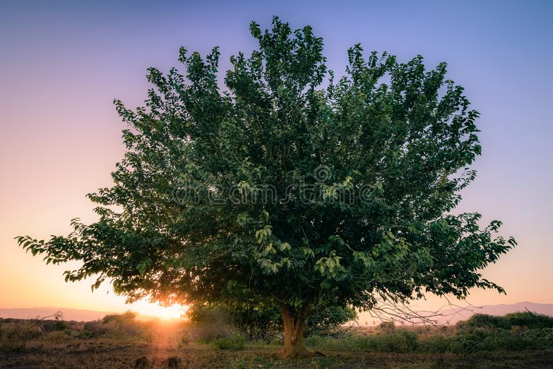 Ηλιοβασίλεμα μετά από το μεγάλο πράσινο δέντρο στοκ εικόνες