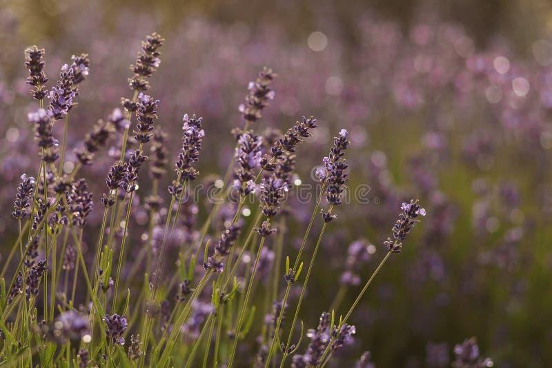 Ηλιοβασίλεμα πέρα από έναν ιώδη lavender τομέα στην Προβηγκία, Γαλλία στοκ εικόνες