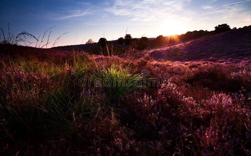 Ηλιοβασίλεμα πέρα από το λόφο με την ανθίζοντας ερείκη στοκ φωτογραφίες με δικαίωμα ελεύθερης χρήσης