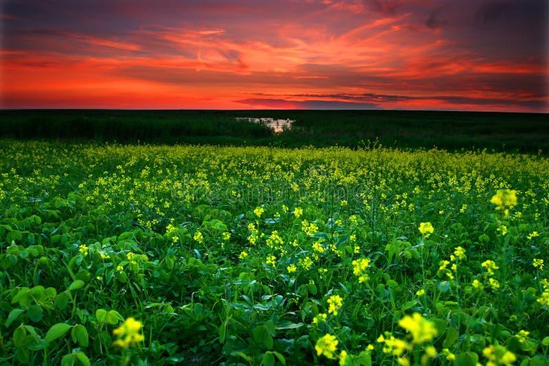 ηλιοβασίλεμα πεδίων canola στοκ εικόνες