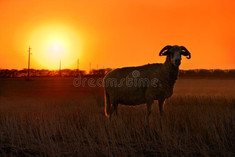 ηλιοβασίλεμα προβάτων στοκ εικόνες