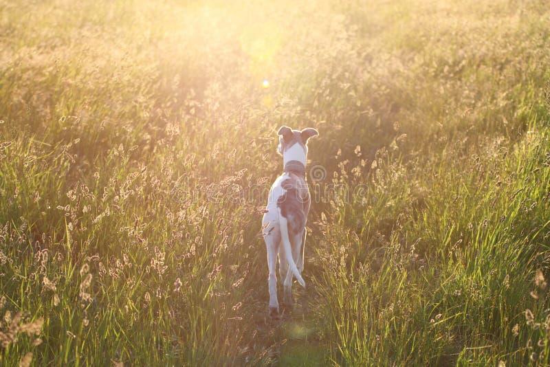 ηλιοβασίλεμα σκυλιών στοκ φωτογραφία