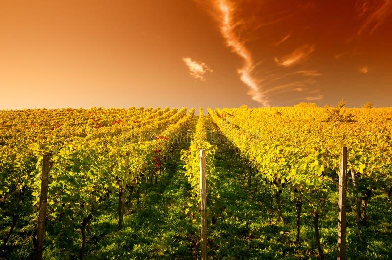 ηλιοβασίλεμα wineyard στοκ φωτογραφία με δικαίωμα ελεύθερης χρήσης