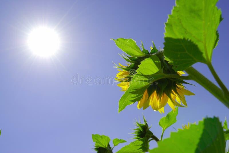 ηλιοφάνεια ηλίανθων κάτω στοκ φωτογραφία με δικαίωμα ελεύθερης χρήσης