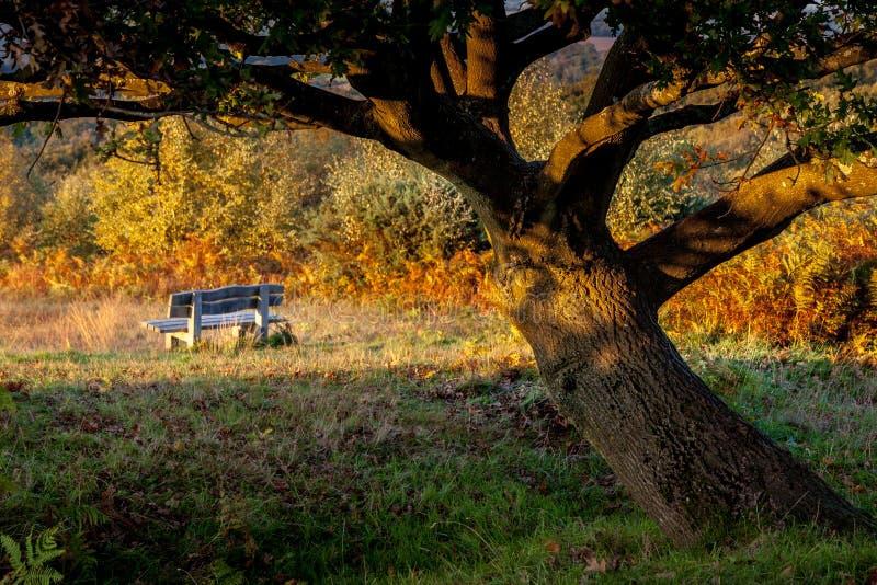 Ηλιοφάνεια σε ένα δρύινο δέντρο στο δάσος Ashdown στοκ εικόνα
