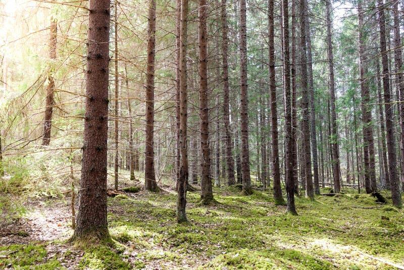 Ηλιοφάνεια σε ένα πράσινο mossy δάσος την άνοιξη στοκ φωτογραφία με δικαίωμα ελεύθερης χρήσης