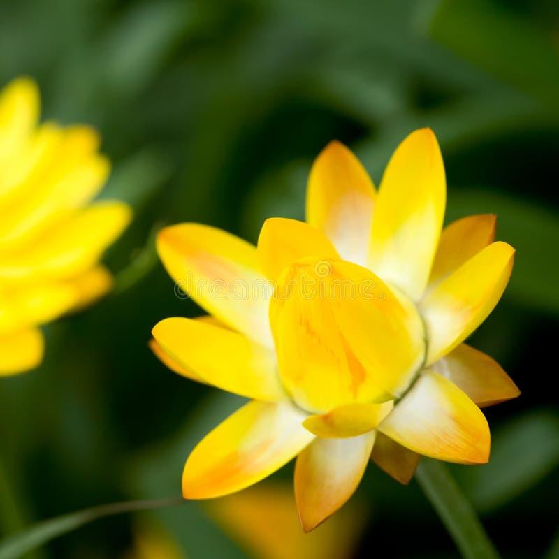 ηλιοφάνεια helichrysum στοκ φωτογραφία με δικαίωμα ελεύθερης χρήσης