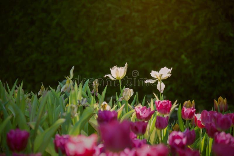 Ηλιοφώτιστα άσπρα δύο forestcent λουλούδια τουλιπών στο α στο σκούρο πράσινο και μαύρο κλίμα με τις θολωμένες πορφυρές τουλίπες f στοκ εικόνες με δικαίωμα ελεύθερης χρήσης