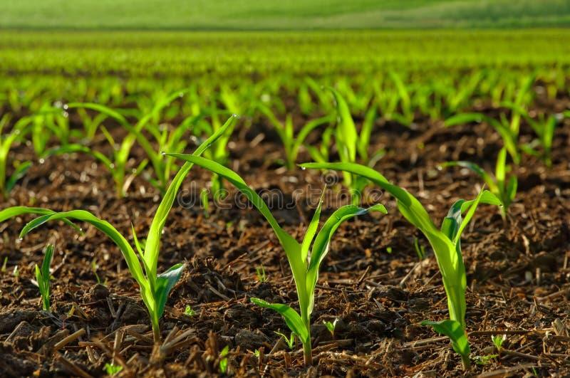 Ηλιοφώτιστα νέα φυτά καλαμποκιού στοκ εικόνες