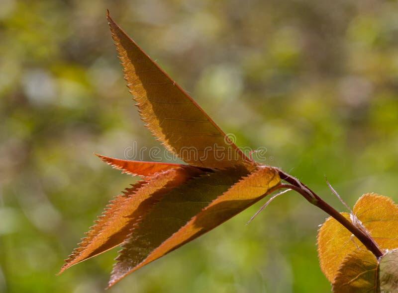 Ηλιοφώτιστα φύλλα που ανοίγουν σε μια ξύλινη άμπελο την άνοιξη στοκ φωτογραφία με δικαίωμα ελεύθερης χρήσης