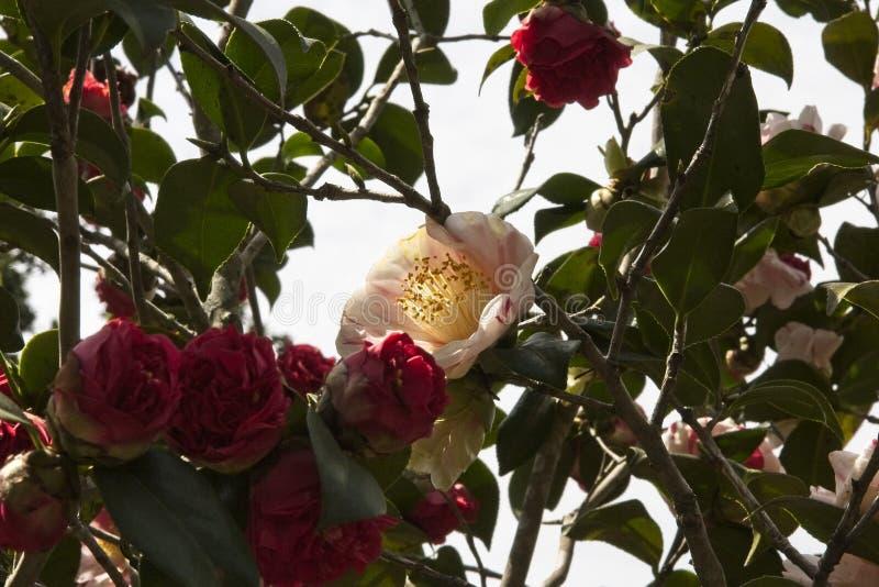 Ηλιοφώτιστο άσπρο λουλούδι με μια αφή του κοκκίνου στοκ εικόνες με δικαίωμα ελεύθερης χρήσης