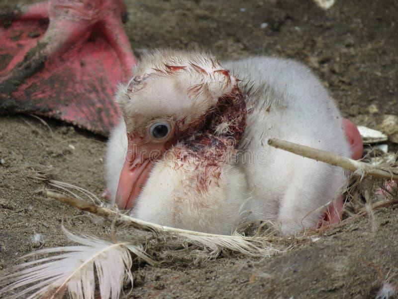 ηλιόλουστες νεολαίες φλαμίγκο ημέρας νεοσσών πουλιών στοκ φωτογραφίες