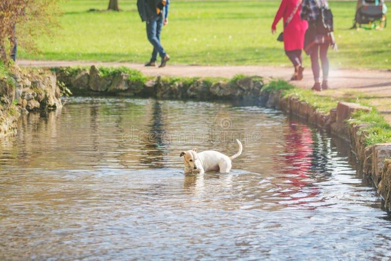 Χαριτωμένο μικρό λούσιμο σκυλιών σε μια λίμνη Ηλιόλουστη ημέρα άνοιξη, τονισμένη φωτογραφία στοκ εικόνα