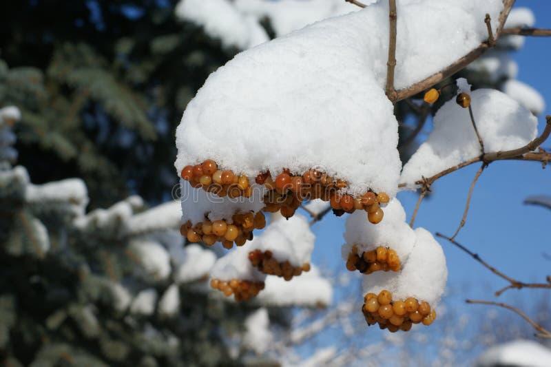 Ηλιόλουστη χειμερινή ημέρα Άσπρο χιόνι ΚΑΠ στον κλάδο του viburnum στοκ φωτογραφίες με δικαίωμα ελεύθερης χρήσης