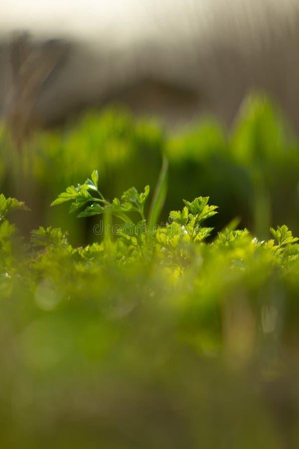 Ηλιόλουστος και πράσινος μαϊντανός στο αγρόκτημα στοκ φωτογραφίες με δικαίωμα ελεύθερης χρήσης