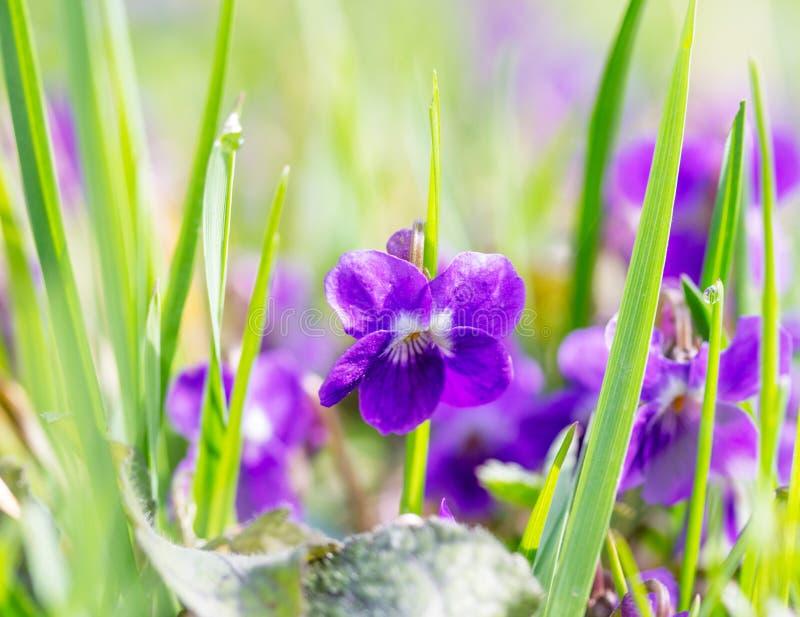 Ηλιόλουστος χορτοτάπητας με τις άγριες βιολέτες λουλουδιών στοκ φωτογραφίες με δικαίωμα ελεύθερης χρήσης