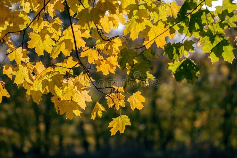 Ηλιόλουστο κίτρινο κόκκινο χρωματισμένο υπόβαθρο φύλλων σφενδάμου εποχής φθινοπώρου στοκ εικόνες με δικαίωμα ελεύθερης χρήσης