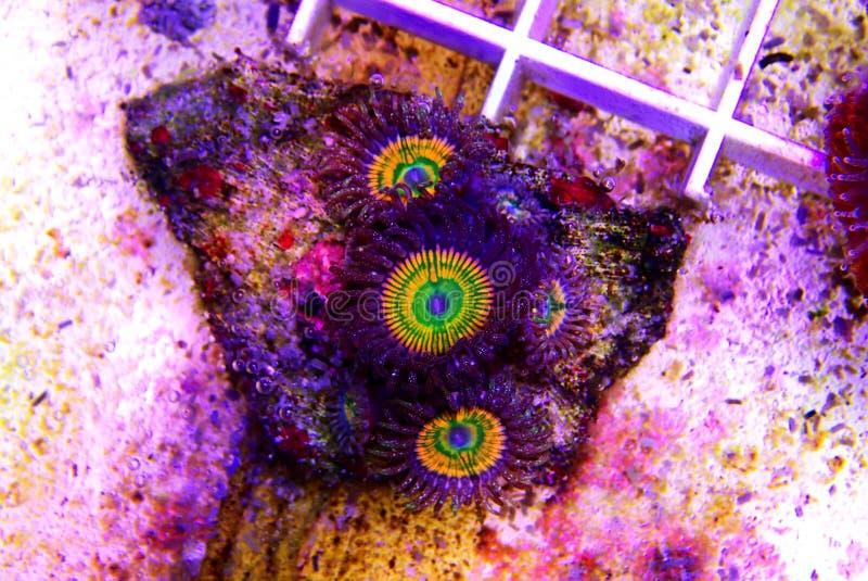 Ηλιόλουστο κοράλλι αποικιών Δ Zoanthus polyps στη δεξαμενή ενυδρείων σκοπέλων στοκ εικόνα