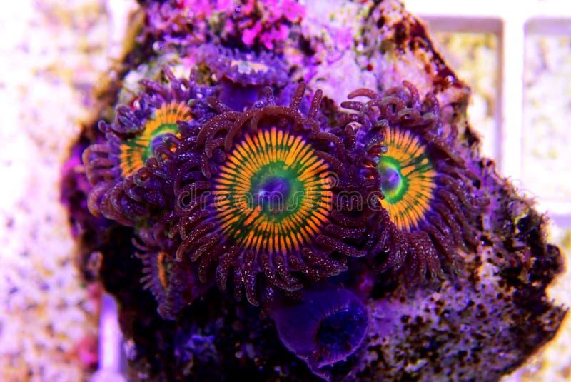 Ηλιόλουστο κοράλλι αποικιών Δ Zoanthus polyps στη δεξαμενή ενυδρείων σκοπέλων στοκ φωτογραφία με δικαίωμα ελεύθερης χρήσης