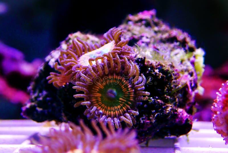 Ηλιόλουστο κοράλλι αποικιών Δ Zoanthus polyps στη δεξαμενή ενυδρείων σκοπέλων στοκ εικόνες