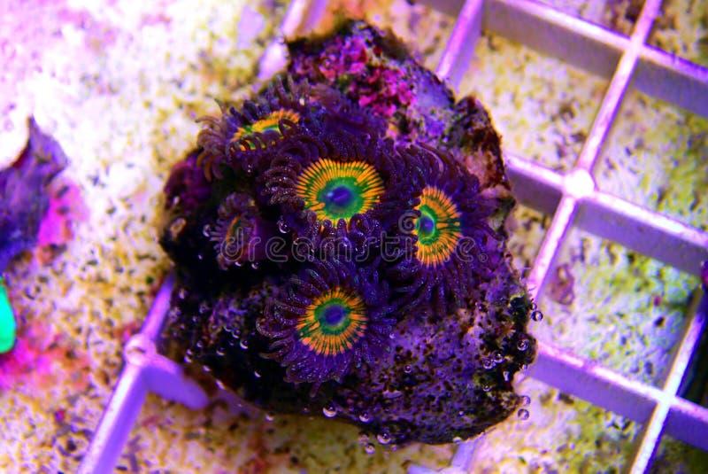 Ηλιόλουστο κοράλλι αποικιών Δ Zoanthus polyps στη δεξαμενή ενυδρείων σκοπέλων στοκ φωτογραφίες με δικαίωμα ελεύθερης χρήσης