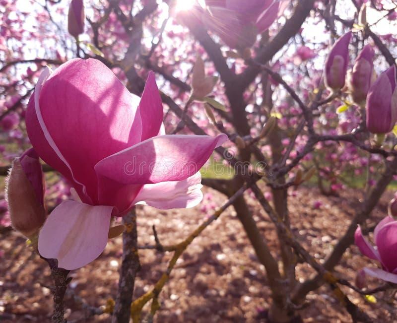 Ηλιόλουστο λουλούδι Magnolia με τα μεγάλα πέταλα στοκ εικόνες
