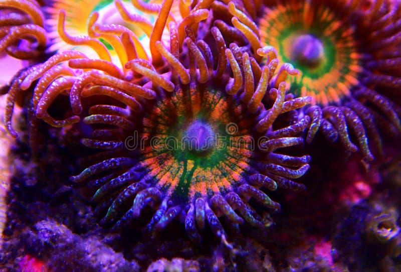 Ηλιόλουστο μαλακό κοράλλι αποικιών Δ Zoanthus polyps στη δεξαμενή ενυδρείων σκοπέλων στοκ φωτογραφίες με δικαίωμα ελεύθερης χρήσης
