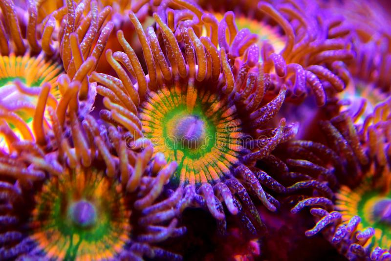 Ηλιόλουστο μαλακό κοράλλι αποικιών Δ Zoanthus polyps στη δεξαμενή ενυδρείων σκοπέλων στοκ εικόνα