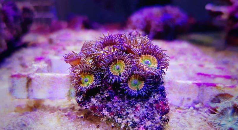 Ηλιόλουστο μαλακό κοράλλι αποικιών Δ Zoanthus polyps στη δεξαμενή ενυδρείων σκοπέλων στοκ εικόνες