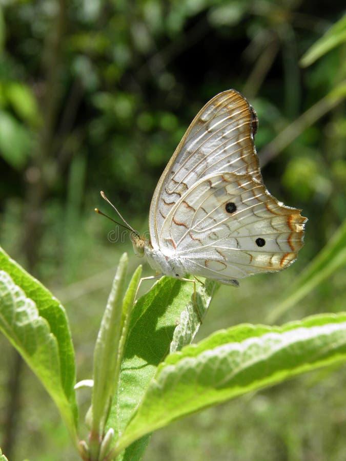 Ηλιόλουστο πρωί πεταλούδων jatrophae Anartia στοκ φωτογραφίες