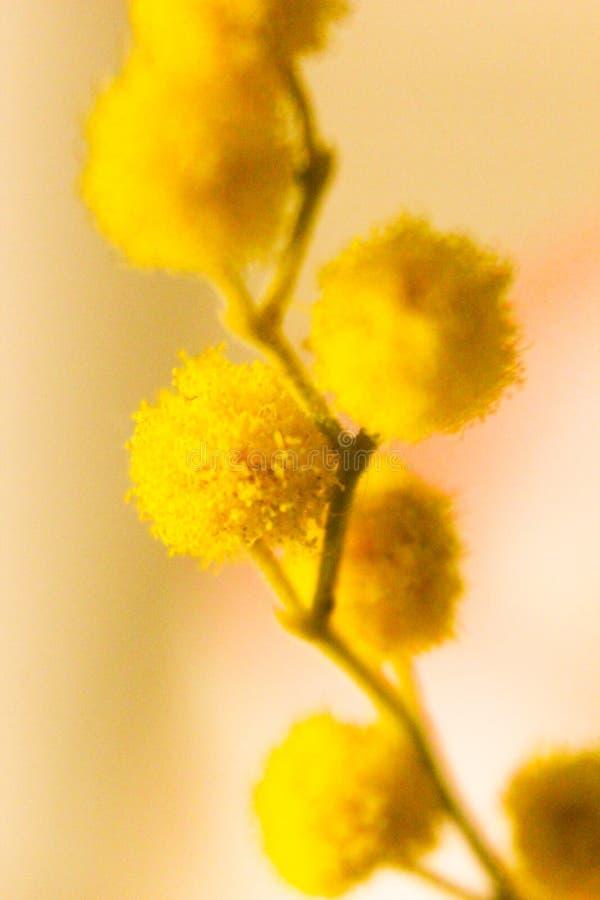 Ημέρα γυναικών ` s λουλουδιών Mimosa στοκ φωτογραφίες