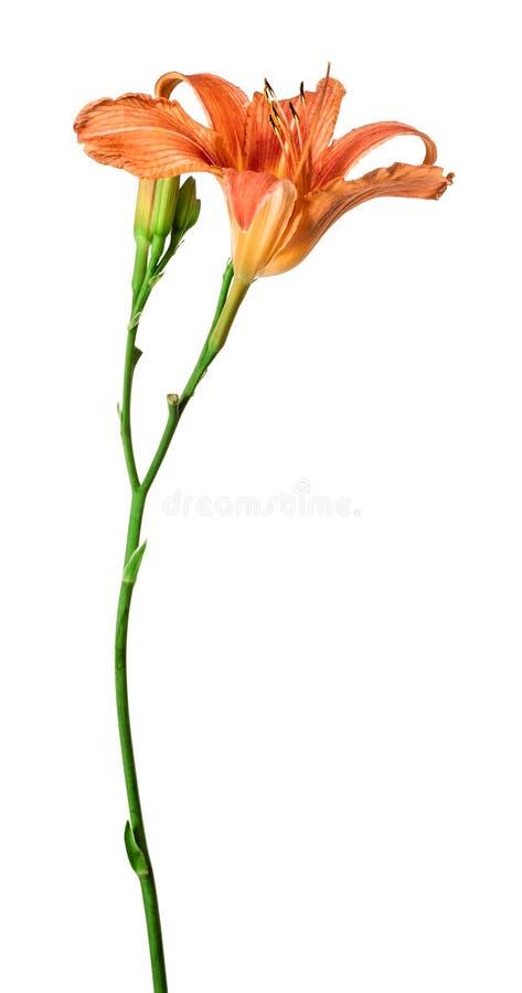Ημέρα-κρίνος λουλουδιών που απομονώνεται στο άσπρο υπόβαθρο στοκ εικόνα με δικαίωμα ελεύθερης χρήσης