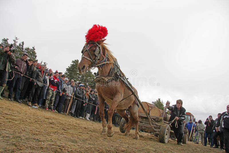 Ημέρα του ST Todor 's Ο αγώνας με τα κάρρα αλόγων και τραβήγματος αλόγων με βαρύ συνδέεται την ημέρα Todorov στοκ εικόνες