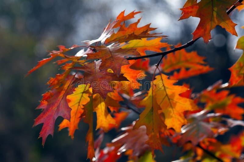 ημέρα φθινοπώρου ηλιόλουστη Δρύινα φύλλα του κόκκινου και κίτρινου χρώματος στοκ εικόνες με δικαίωμα ελεύθερης χρήσης