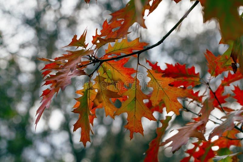 ημέρα φθινοπώρου ηλιόλουστη Δρύινα φύλλα του κόκκινου και κίτρινου χρώματος στοκ φωτογραφία