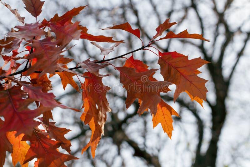 ημέρα φθινοπώρου ηλιόλουστη Δρύινα φύλλα του κόκκινου και κίτρινου χρώματος στοκ εικόνα