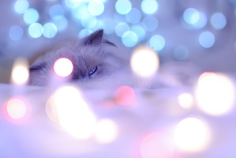 Ημερολογιακή γάτα διακοπών Χριστουγέννων, άνετο μπλε και άσπρο pi στοκ εικόνα με δικαίωμα ελεύθερης χρήσης